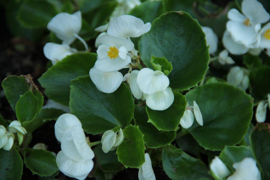 bahce-begonyasi-begonia-semperflorens-8d7993