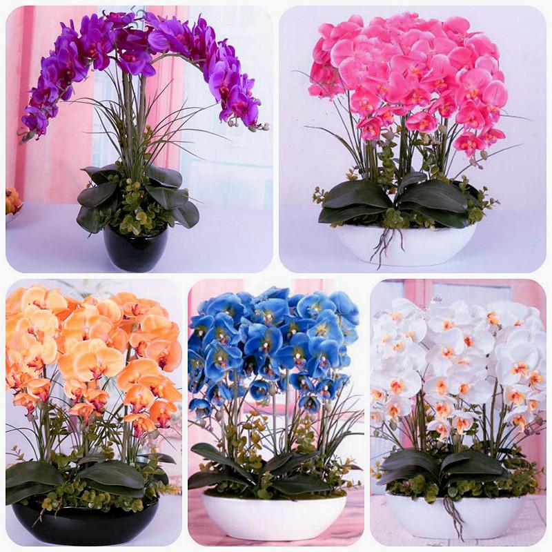 2016-New-font-b-Phalaenopsis-b-font-Orchids-font-b-Phalaenopsis-b-font-Seeds-Potted-Flowers